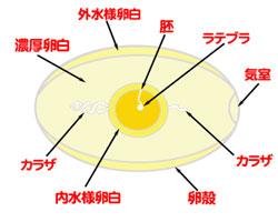 玉子の構造と名称