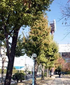 今津公園の銀杏(いちょう)の木