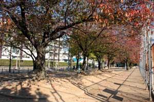 今津公園内の桜の木