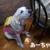 盲導犬の「あーちゃん」