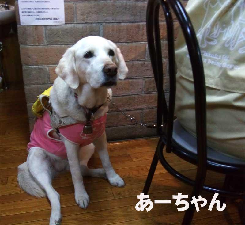 盲導犬のあーちゃん-2